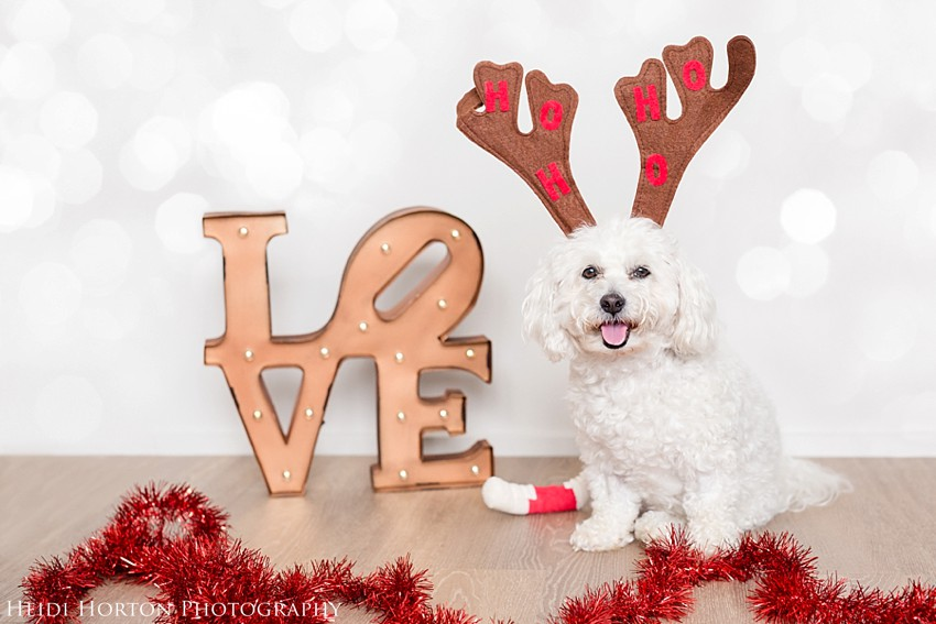 christmas dog, bichon lhasa apso dog, photographers with dogs, Heidi Horton Photography